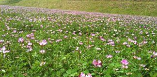 Las propiedades del Astrágalo una hierba fundamental para tu salud